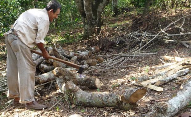 El roble es la leña de elección y grandes árboles son cortados.