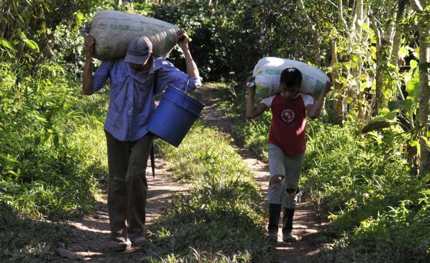 Muchas personas trabajan en la cosecha de café.